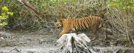 The large male tiger walking along the river bank © Joydip Suchandra Kundu/Sanctuary